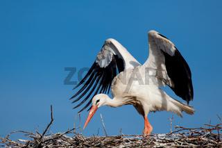 Stork, Vitoria, Alava, Spain