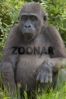 Junger Flachlandgorilla (Gorilla gorilla gorilla)