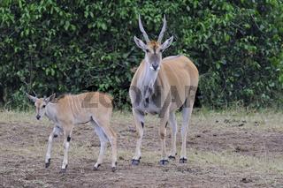 Elenantilope (Taurotragus oryx), Mutter mit Jungtier, Masai Mara