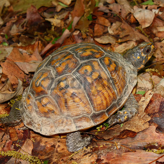 Box Turtle in Alabama
