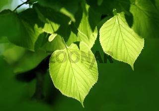 green foliage glowing in sunlight