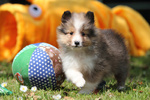 American Shetland Sheepdog Welpe