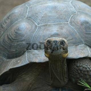 giant turtle, galapagos islands, ecuador