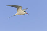 Kstenseeschwalbe, Sterna paradisaea, arctic tern