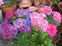 Gartenhortensien