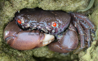 Red-eyed reef crab - Eriphia ferox