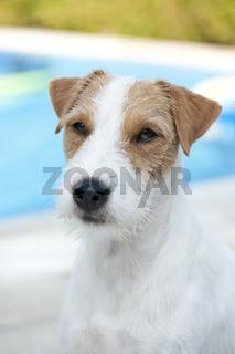 Parson Russell Terrier am heimischen Pool