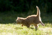 Katze, Kaetzchen rennend, auf Wiese, im Gegenlicht , Cat, kitten running on a meadow in the back-light