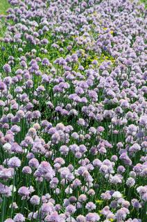 Allium schoenoprasum, Schnittlauch, Chives