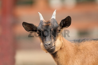 funny young brown goat ruminating the grass