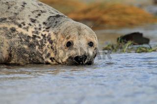 Kegelrobben im Wasser Helgoland