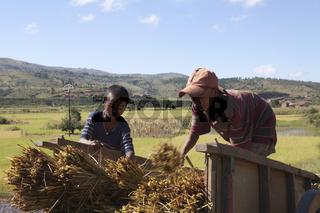Ernten von Reisstroh, Madagaskar, Afrika