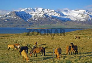 Islandpferde in der Einsamkeit Nordislands