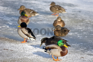 Enten im Winter