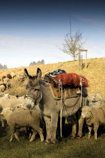 Bepackter Esel zwischen einer Schafsherde