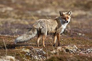 Rotfuchs in Lappland