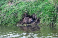Nutria (Myocastor coypus) on a river bank