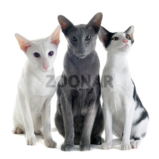 three oriental cats
