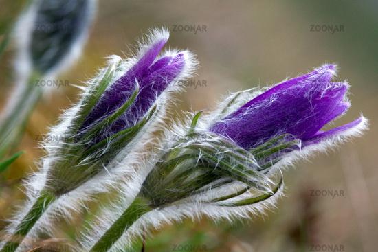 Pulsatilla vulgaris, Kuhschelle, Pasque flower