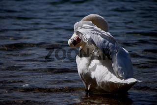 weisser schwan beim putzen im see im sommer