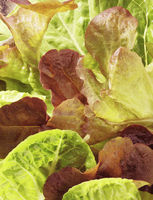 Lettuce close-up
