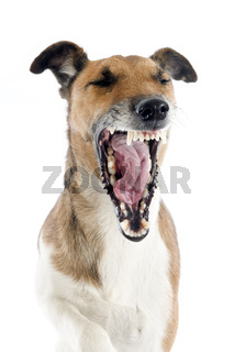 yawning smooth fox terrier