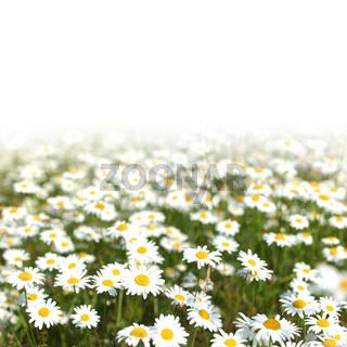 camomiles summer field