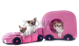 chihuahuas in car