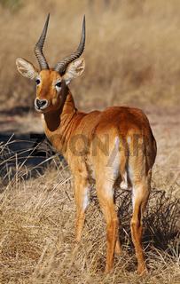 Puku im Kafue Nationalpark, Sambia; Kobus vardonii; puku, Kafue National Park, Zambia
