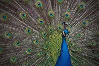 pavo cristatus, blauer Pfau schägt ein Rad