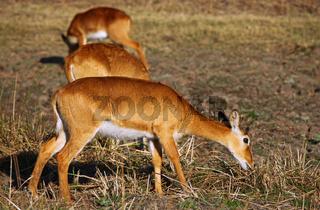 Pukus im South Luangwa Nationalpark, Sambia; Kobus vardonii; pukus, South Luangwa Nationalpark, Zambia