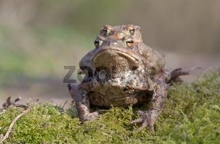 Erdkröten / Bufo bufo