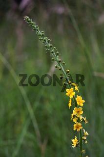 Agrimonia eupatoria, Kleiner Odermennig, Common Agrimony