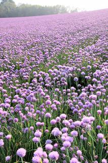 Flowering onion field