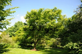 Zelkova serrata, Zuergelbaum, Japanese Zelkova