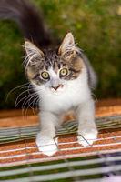 Junge Maine Coon Katze am Zaun