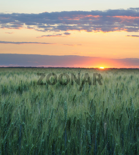 Wheat and sunset