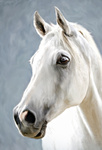 a white horse