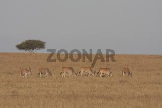 Gruppe von Elenantilopen beim grasen