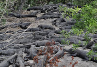 Alligators Resting
