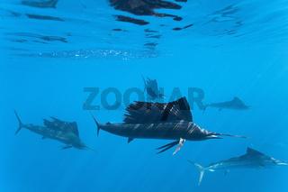 Atlantische Segelfische