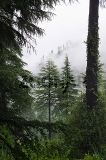 Fog after rain in wild forest