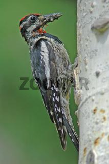Yellow-bellied Sapsucker (Sphyrapicus varius)