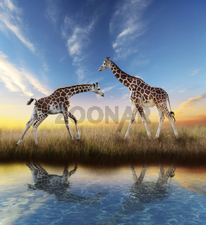 Two Giraffes At Sunset