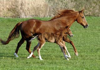 Pferd Stute mit Fohlen im Galopp
