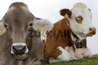2 Milchkühe, Österreich, Sommer
