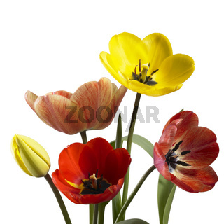 tulip flowers in white back
