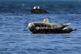 Seehunde Helgoland