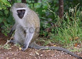 Grünmeerkatze, vervet monkey, Südafrika