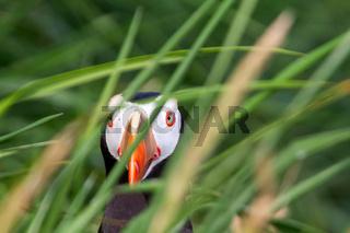puffin In the grass sea (Fratercula) 2